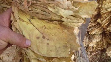 Photo of (Видео) Штипските тутунари се жалат дека тутунот им скапува на таваните