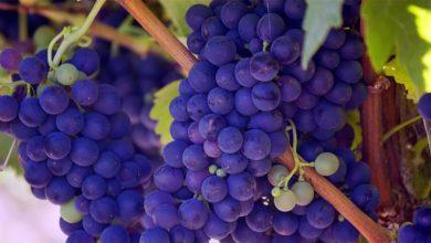 Photo of НФФ: Индивидуалните земјоделски стопанства се основа за производство на винското грозје