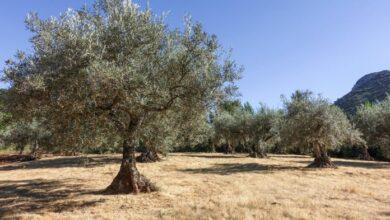 Photo of Столетни маслинови дрвја се корнат во Шпанија за фармерите да ги намалат трошоците