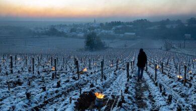 Photo of Мразот ги уништи лозјата во Франција, винарите бројат милионски загуби