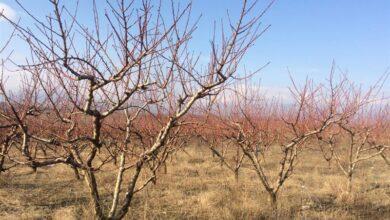 Photo of Ниските утрински температури предизвикаа штети кај овошките во Тиквешко